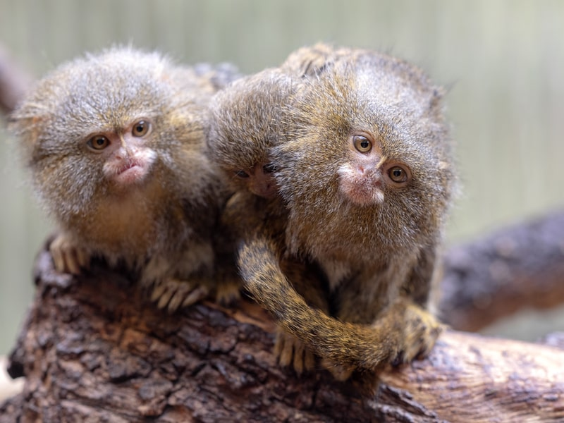 Can Pygmy Marmosets Be Pets