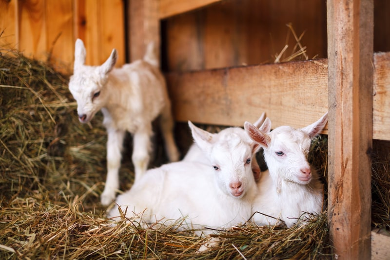 Do Baby Goats Sleep a Lot
