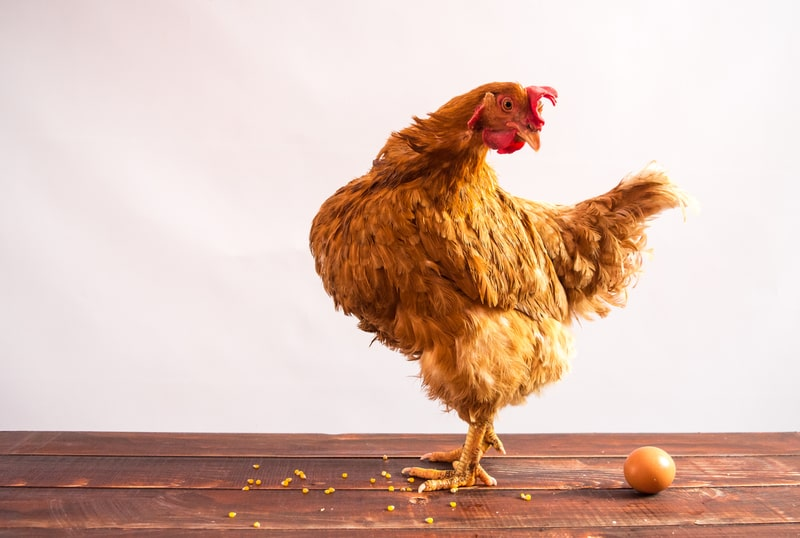 Do Chickens Need a Rooster to Lay Eggs