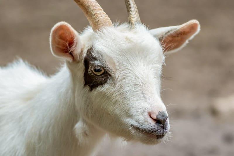 Do Goats Have Good Eyesight