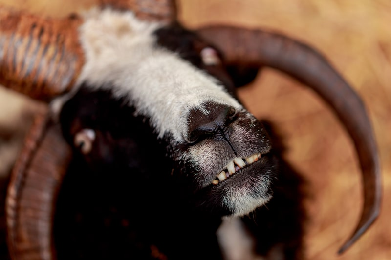 Do Goats Have Top Teeth
