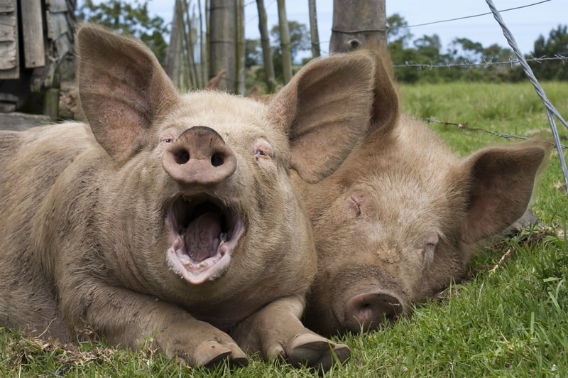 Do Pigs Have Teeth