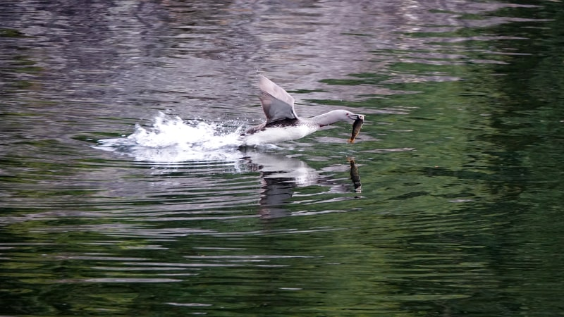 How Big a Fish Can a Loon Eat