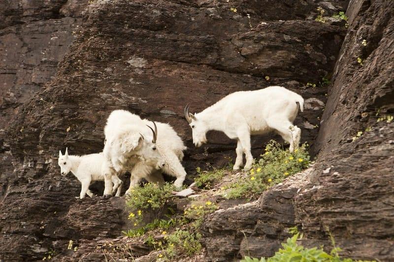 How Do Mountain Goats Not Fall