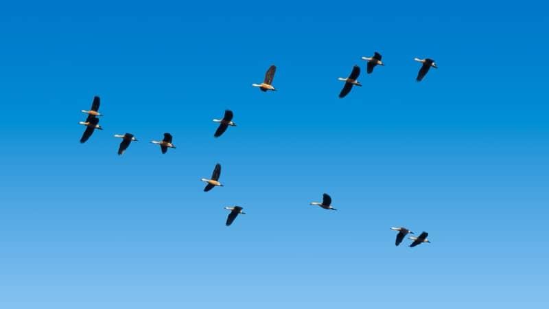 How High Can Ducks Fly