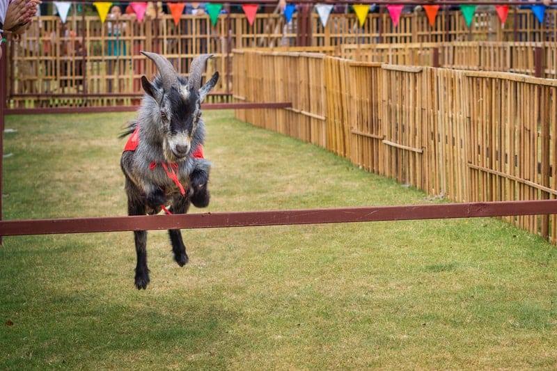 How High Can Goats Jump