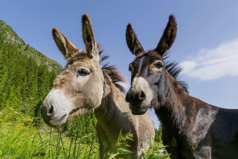 How Long Do Donkeys Live