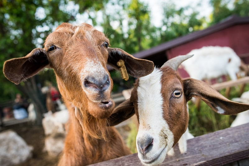 How Long are Goats Pregnant