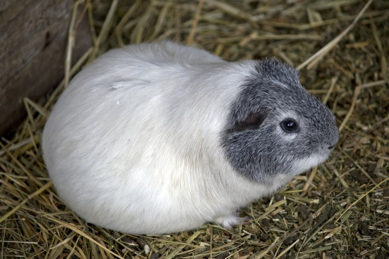How Long are Guinea Pigs Pregnant for