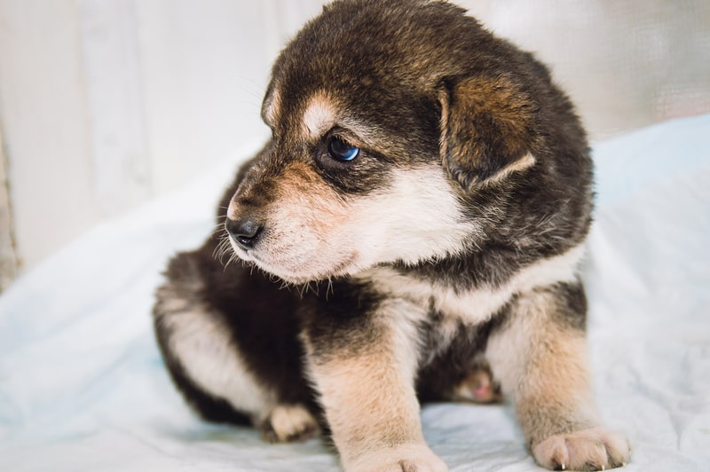 Is It Normal for Puppies to Have Blue Eyes