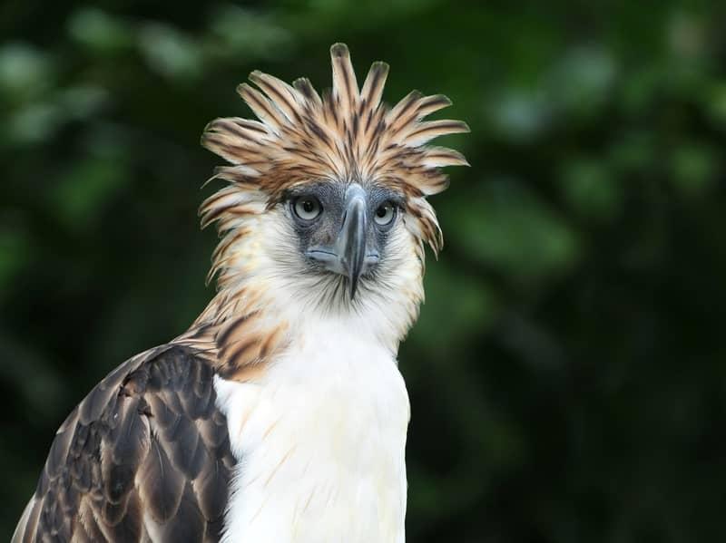Philippine Eagles