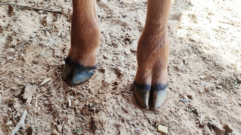What Color are Cows Hooves