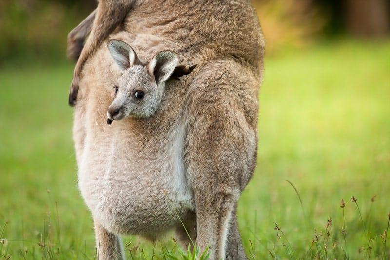 What Do Baby Kangaroos Eat