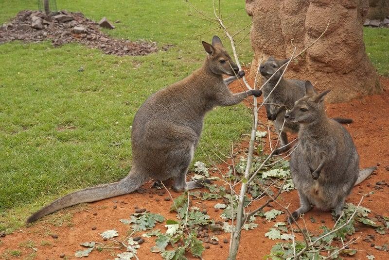 What Do Kangaroos Eat