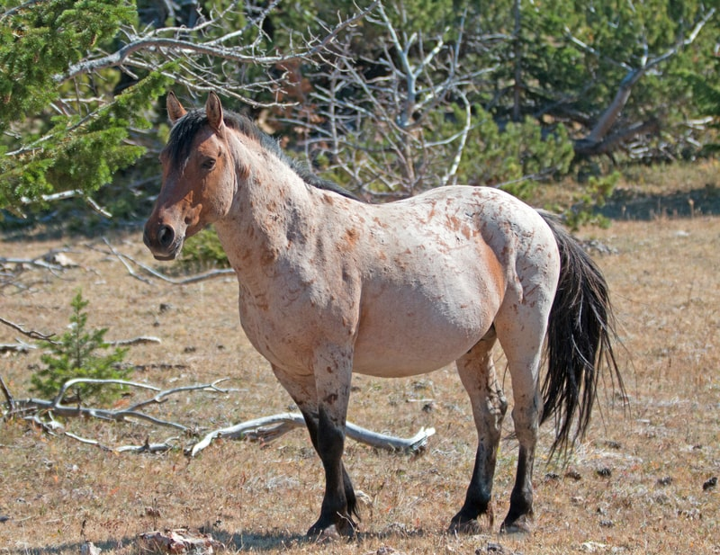What is a Red Roan Horse