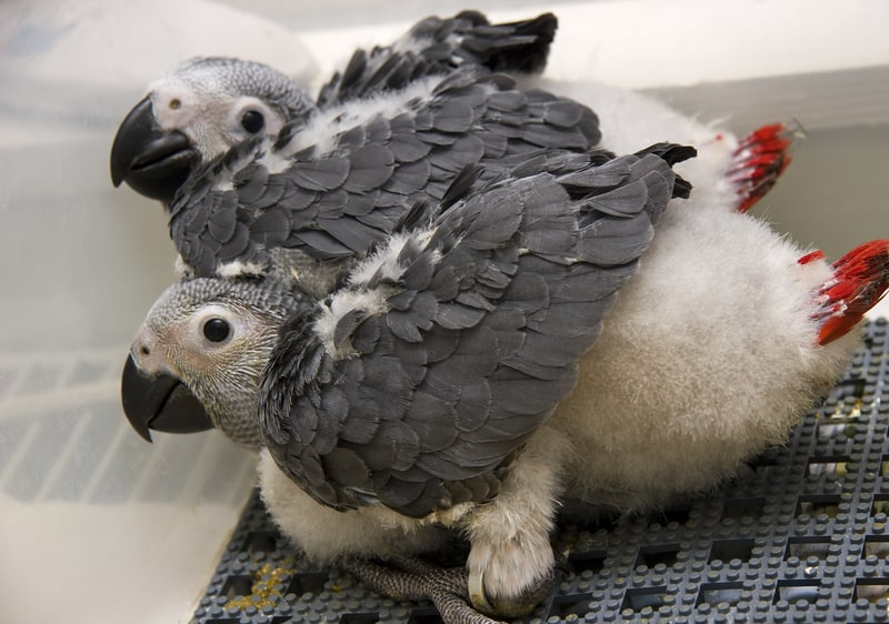 What to Feed a Baby African Grey