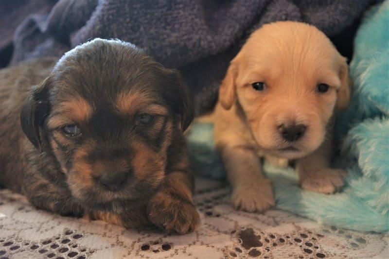 When Do Puppies Open Their Eyes
