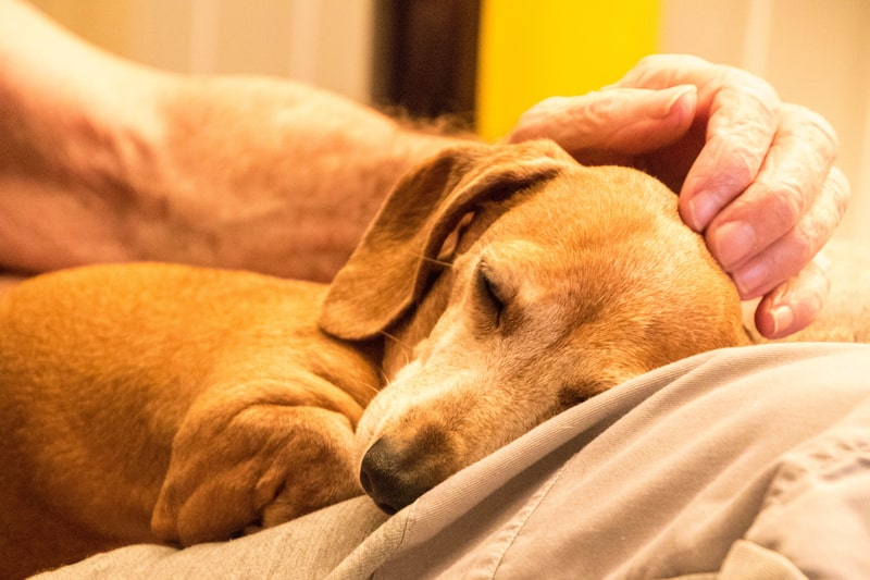 When to Euthanize a Dog with Dementia