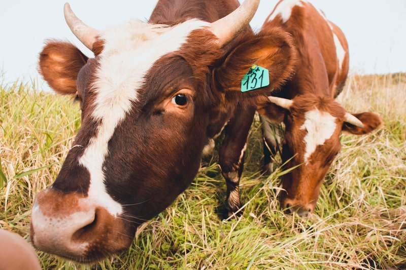 Why Do Cows Eat Grass
