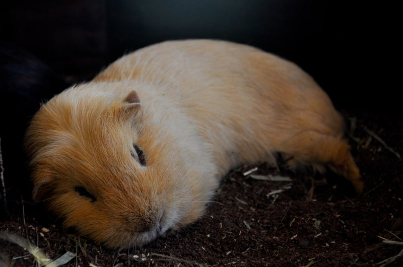 Will Guinea Pigs Sleep with Their Eyes Open